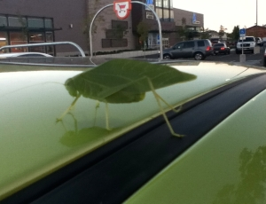 A katydid riding on a green car