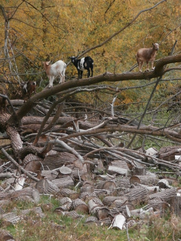 5 goats standing in a willow tree