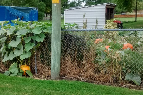 A pumpkin growing over the fence