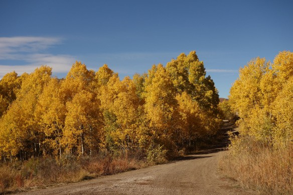 Quaking aspens turn a brilliant yellow in the fall